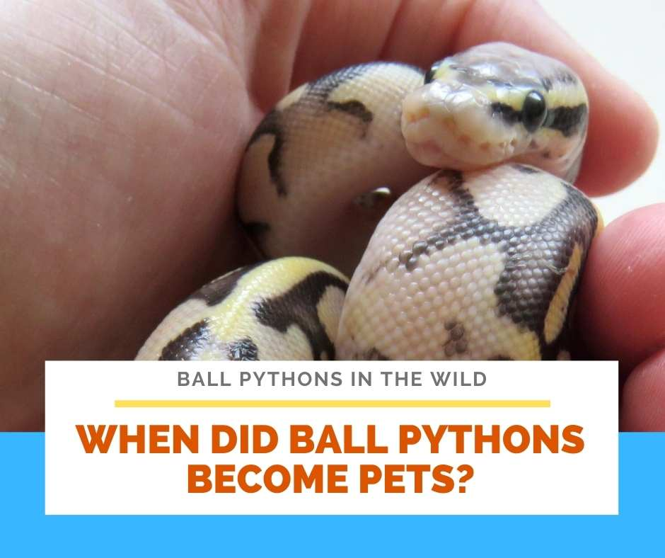 When Did Ball Pythons Become Pets?