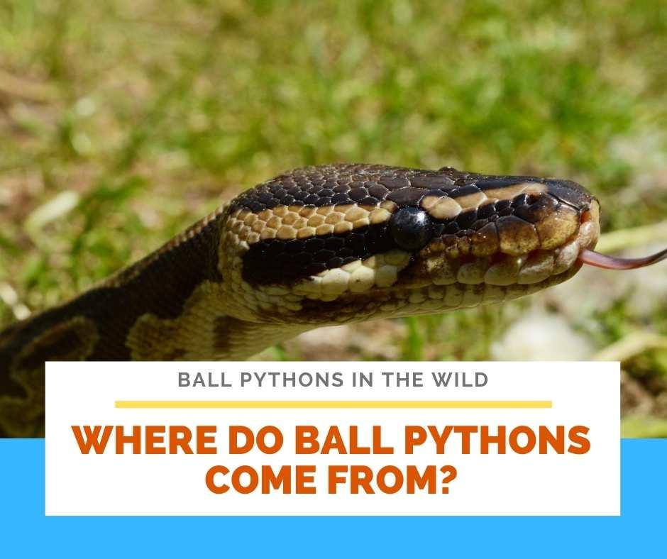 Where Do Ball Pythons Come From?
