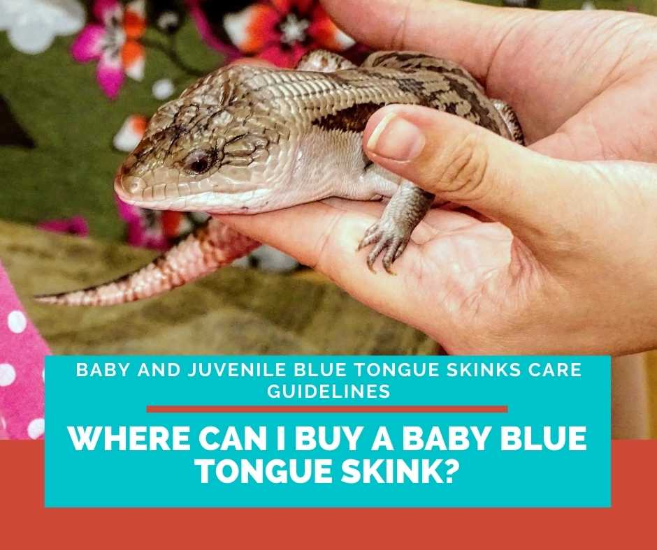 Where Can I Buy A Baby Blue Tongue Skink?