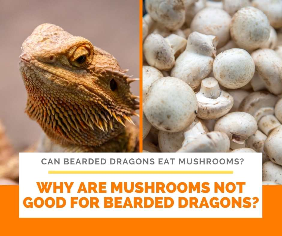 Why Are Mushrooms Not Good For Bearded Dragons?