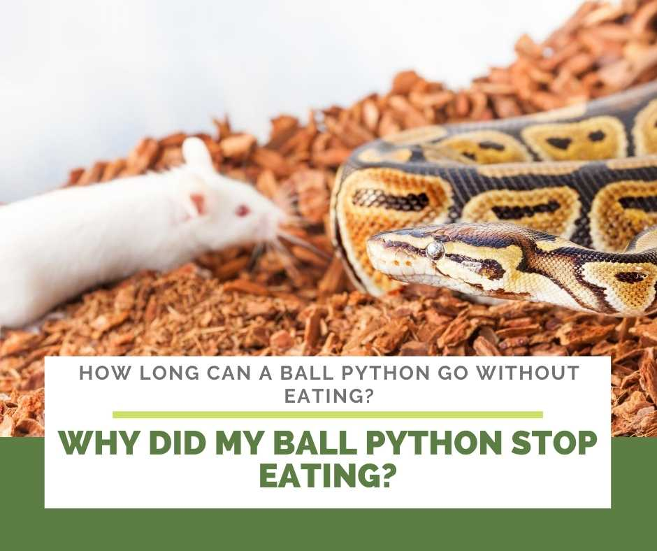 Why Did My Ball Python Stop Eating?