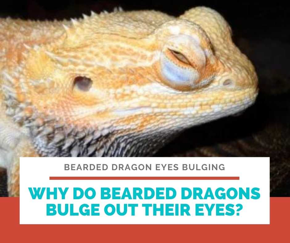 Why Do Bearded Dragons Bulge Out Their Eyes?
