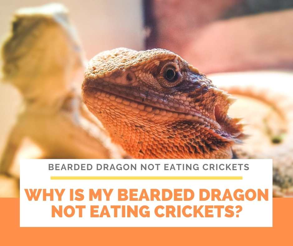 Why Is My Bearded Dragon Not Eating Crickets?