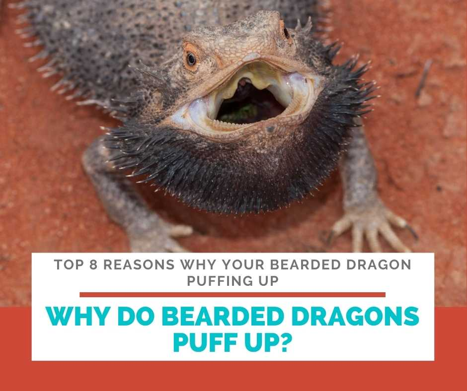 Why Do Bearded Dragons Puff Up?