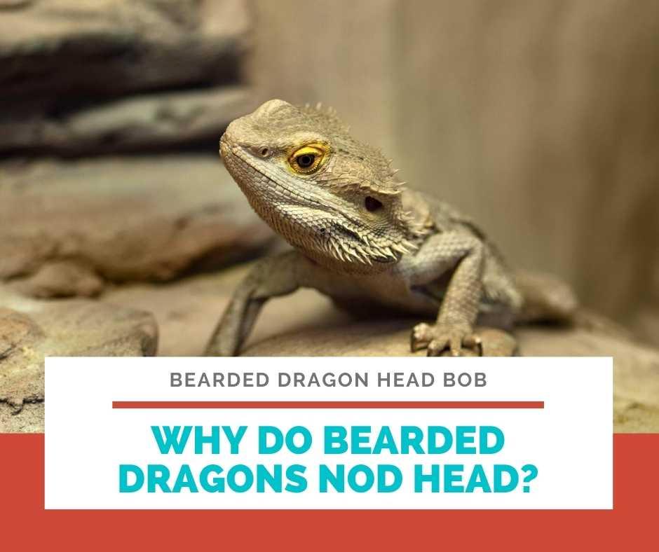 Why Do Bearded Dragons Nod Head?