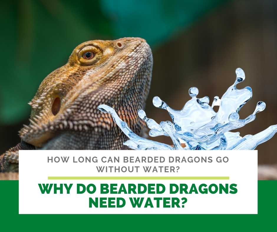 Why Do Bearded Dragons Need Water?