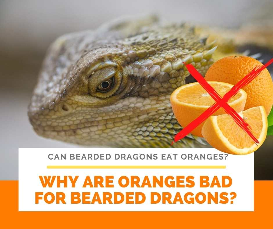 Why Are Oranges Bad For Bearded Dragons?
