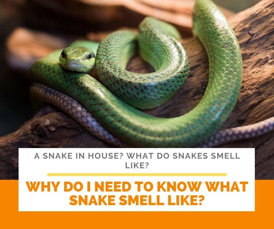 Why Do I Need To Know What Snake Smell Like?