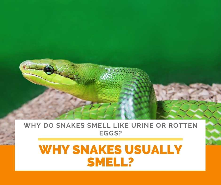 Why Snakes Usually Smell?