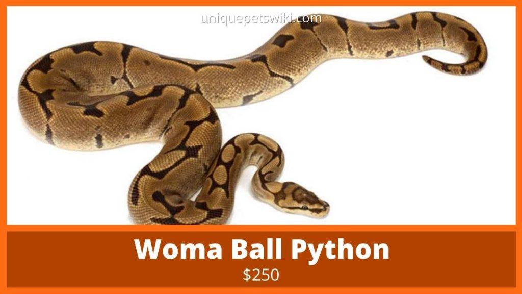 Woma Ball Python
