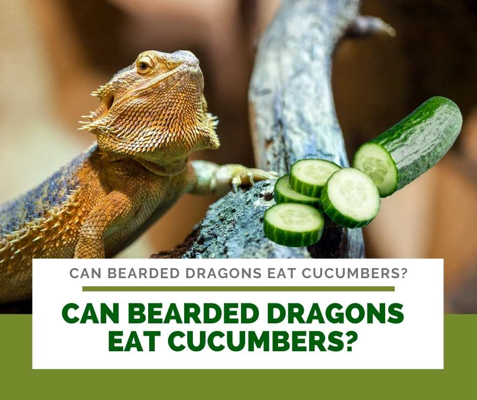Can Bearded Dragons Eat Cucumbers?