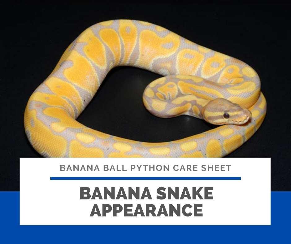 Banana Snake Appearance