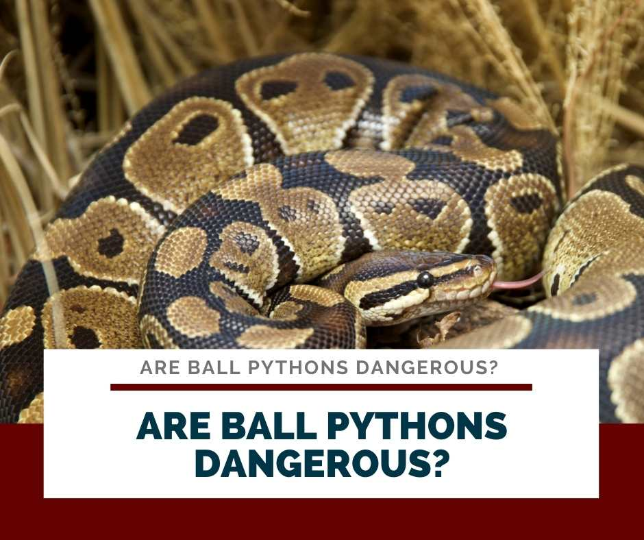 Are Ball Pythons Dangerous?