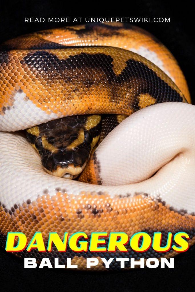 Are Ball Pythons Dangerous Pinterest Pin