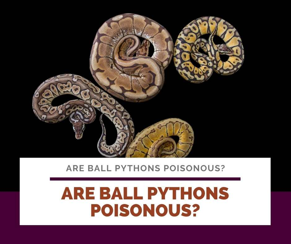 Are Ball Pythons Poisonous?