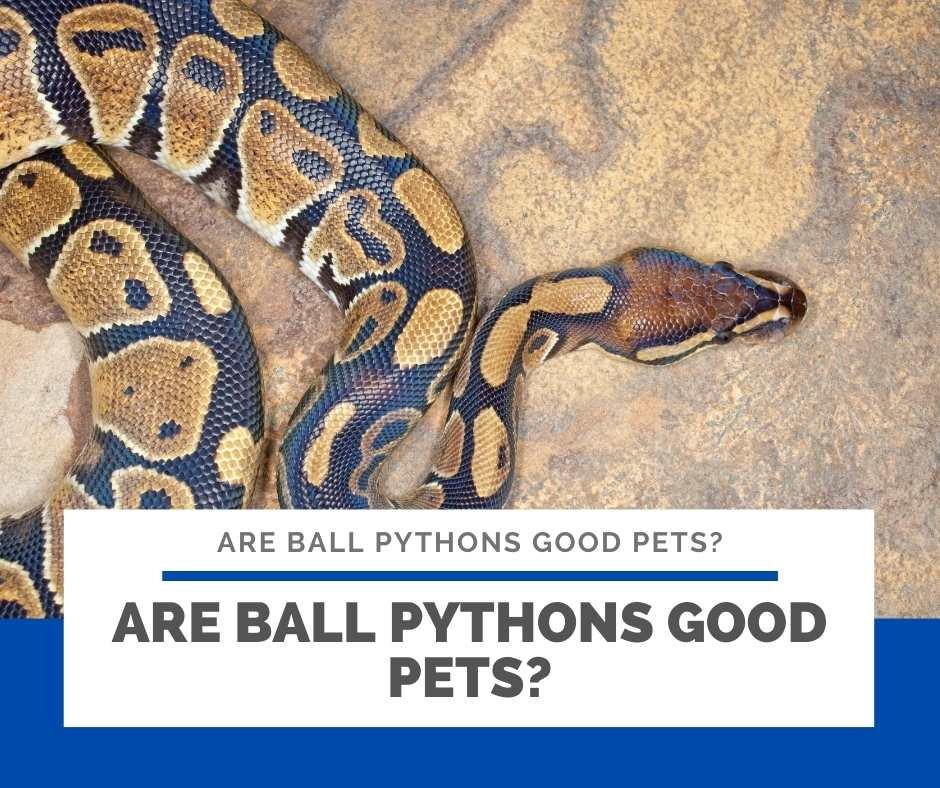 Are Ball Pythons Good Pets?
