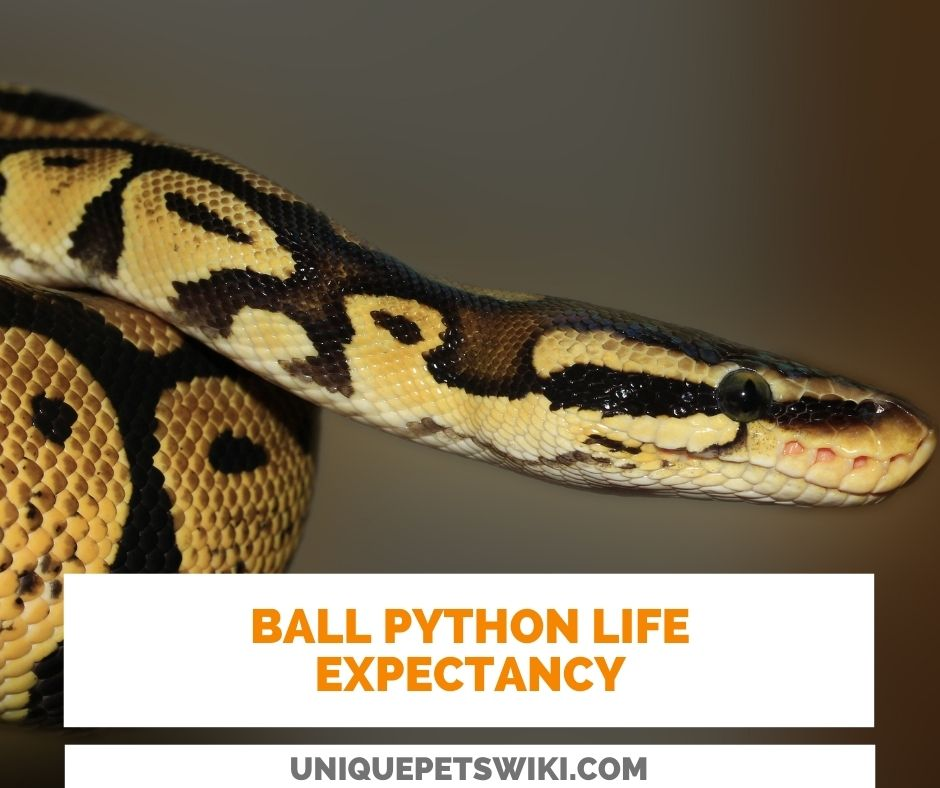 How long is Ball Python Life Expectancy