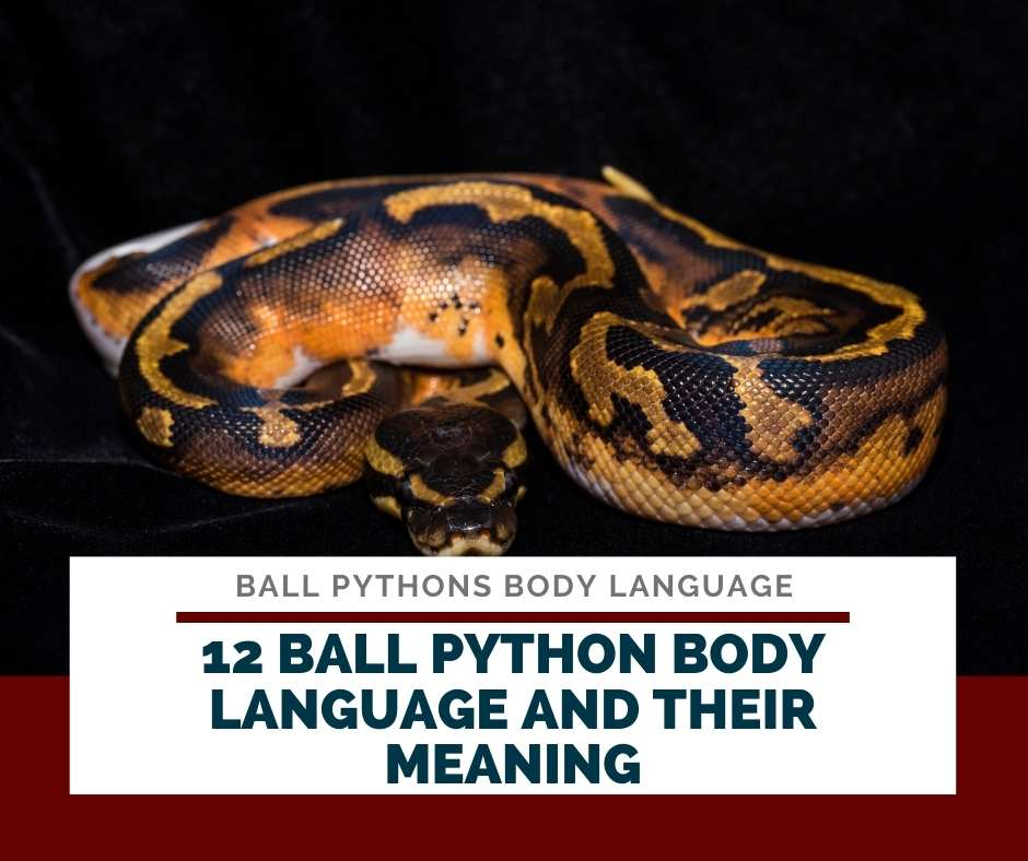 12 Ball Python Body Language And Their Meaning
