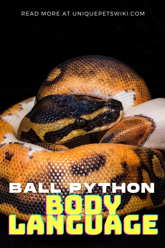 Ball Python Body Language Pinterest Pin
