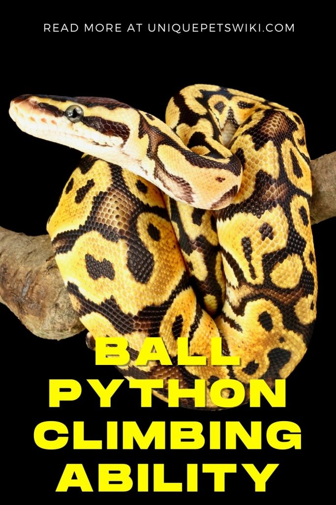 Ball Python Climbing Ability Pinterest Pin