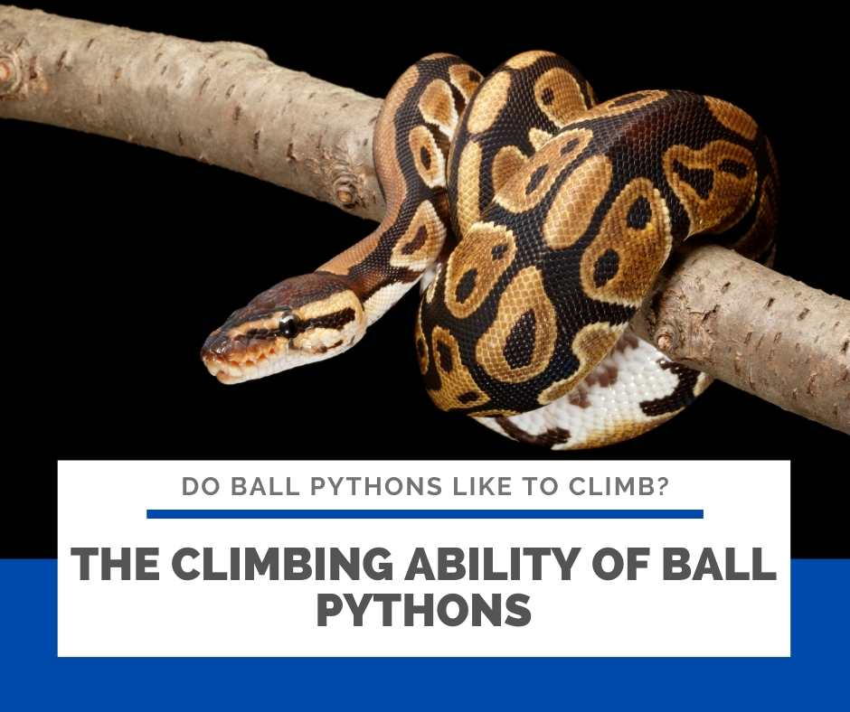 The Climbing Ability Of Ball Pythons