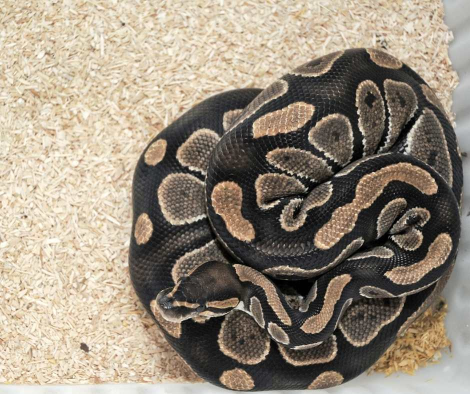 Do Ball Pythons Yawns And Why?