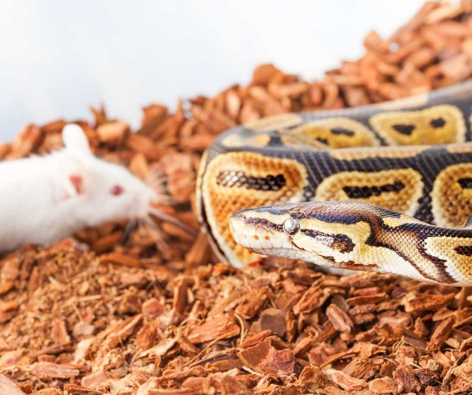 Ball Python Loss of Apetite