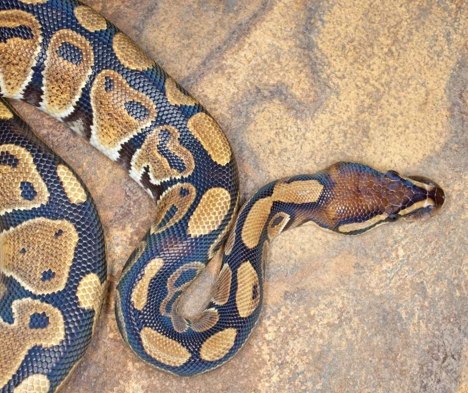 Ball Python Forming Letter S