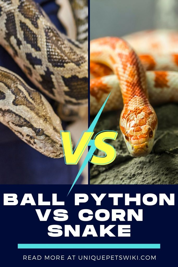 Ball Python vs Corn Snake Pinterest Pin