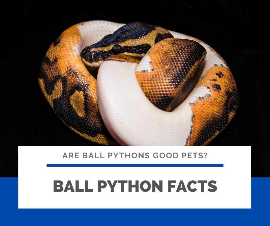 Bonus: Ball Python Facts