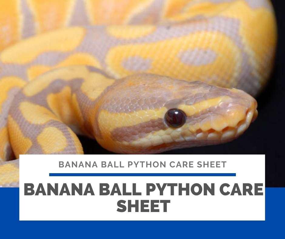 Banana Ball Python Care Sheet
