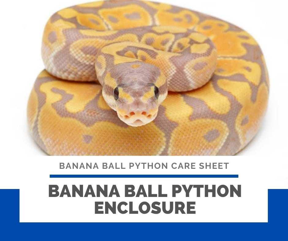 Banana Ball Python Enclosure