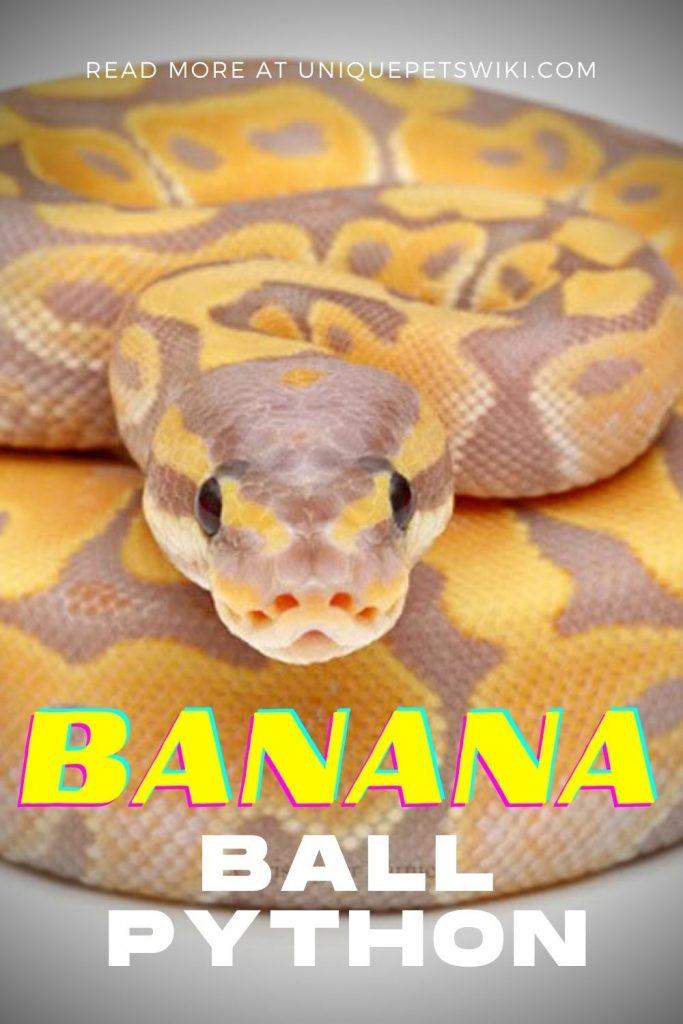Banana Ball Python Pinterest Pin