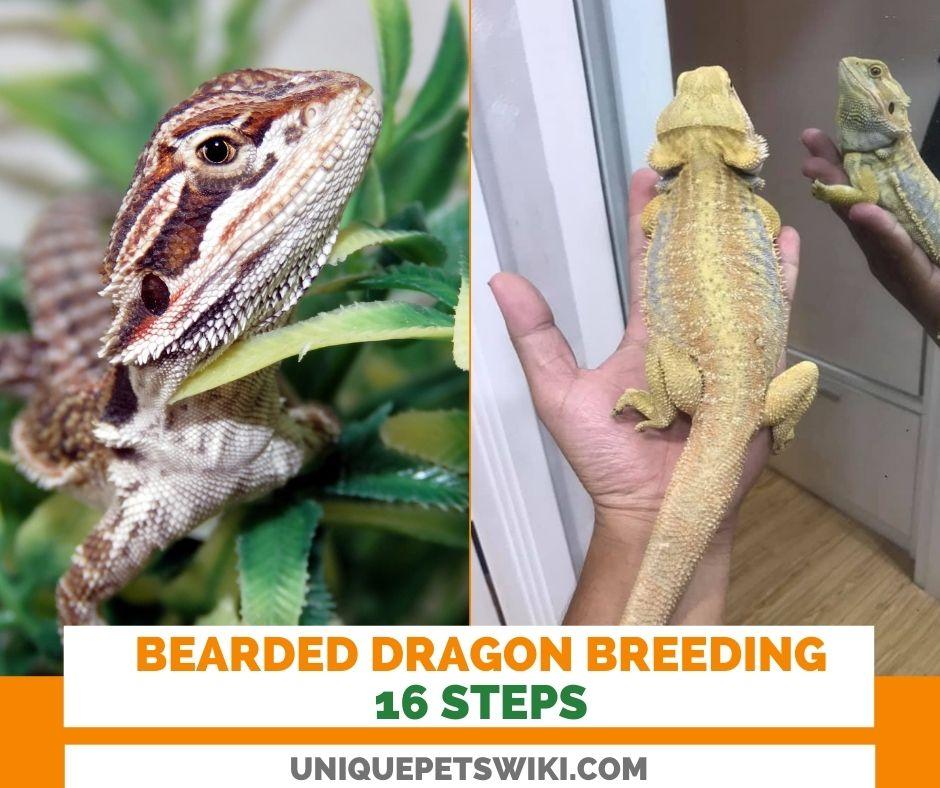 Bearded dragon breeding: 16 Steps
