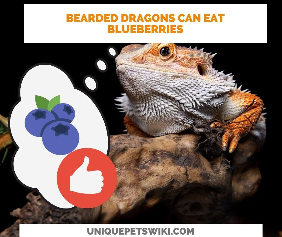 dragons can eat blueberries