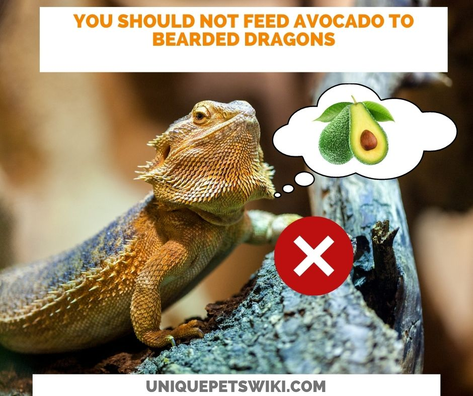 bearded dragons cannot eat avocados