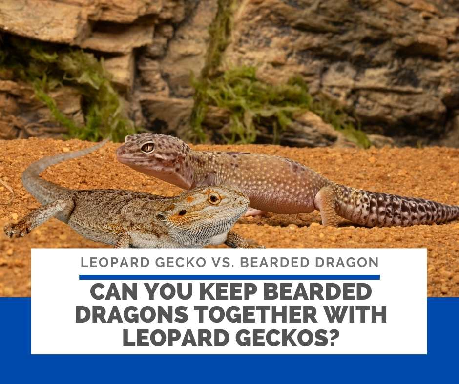 Can You Keep Bearded Dragons Together With Leopard Geckos?