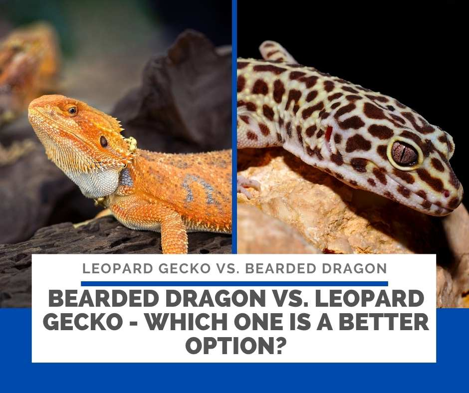 Bearded Dragon Vs. Leopard Gecko - Which One Is A Better Option?