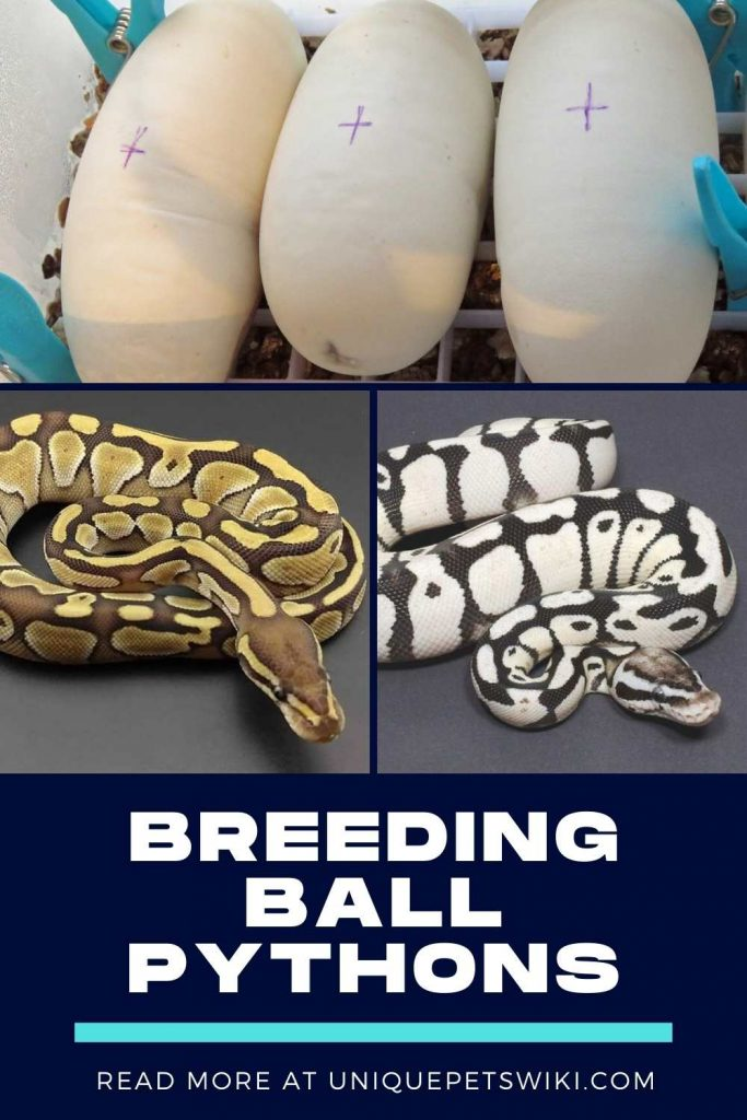 Breeding Ball Pythons Pinterest Pin
