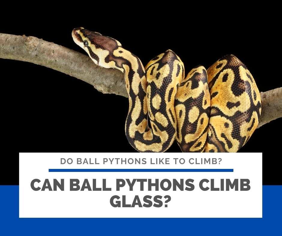 Can Ball Pythons Climb Glass?