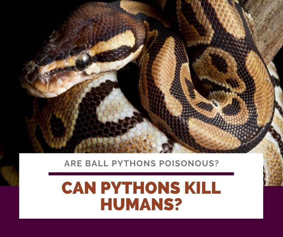 Can Pythons Kill Humans?