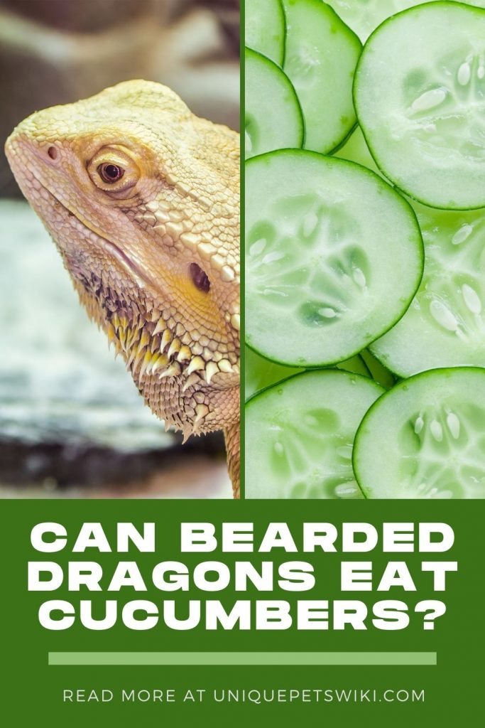 Can Bearded Dragons Eat Cucumbers Pinterest Pin