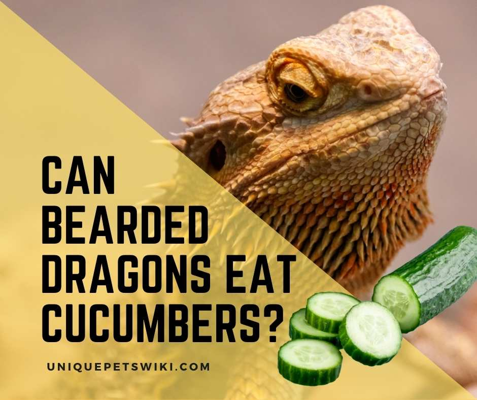 can bearded dragons eat cucumbers