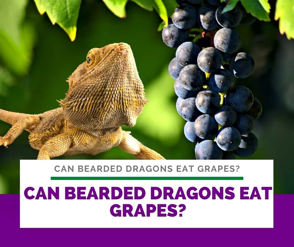Can Bearded Dragons Eat Grapes?
