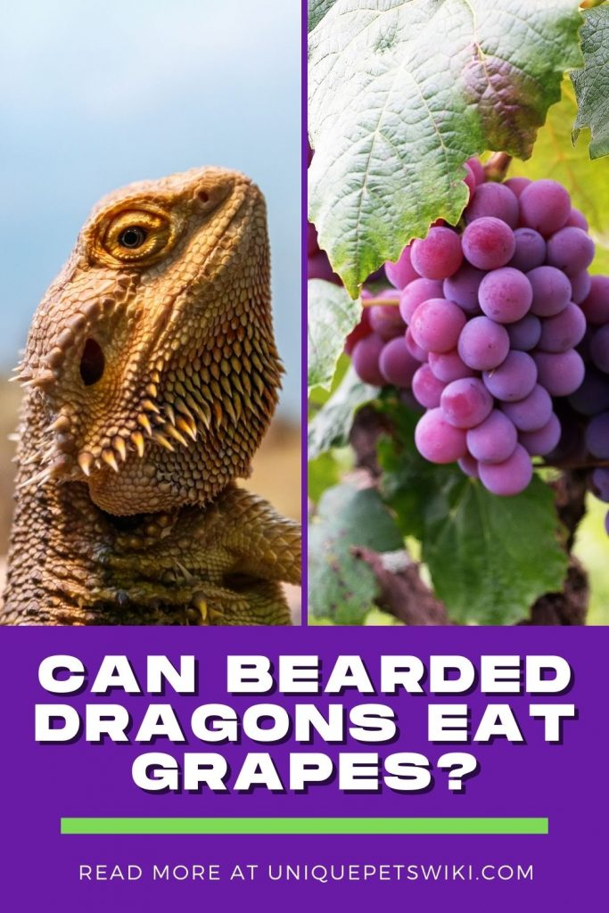 Can Bearded Dragons Eat Grapes Pinterest Pin