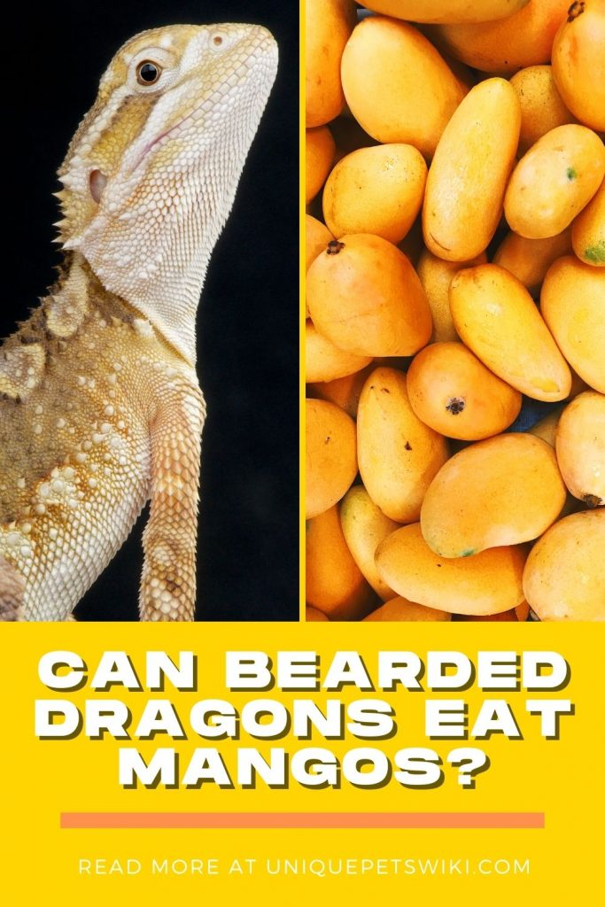 Can Bearded Dragons Eat Mangos Pinterest Pin