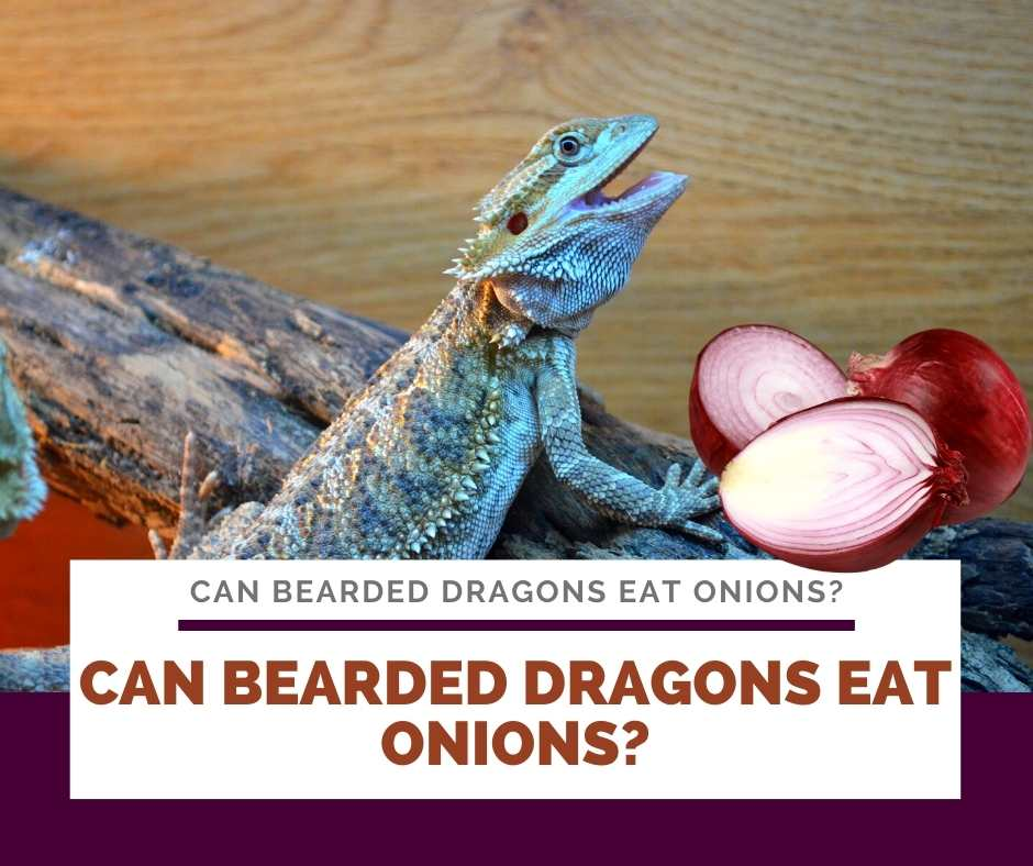 Can Bearded Dragons Eat Onions?