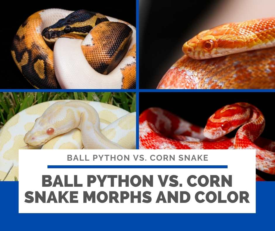 Ball Python Vs. Corn Snake Morphs And Color
