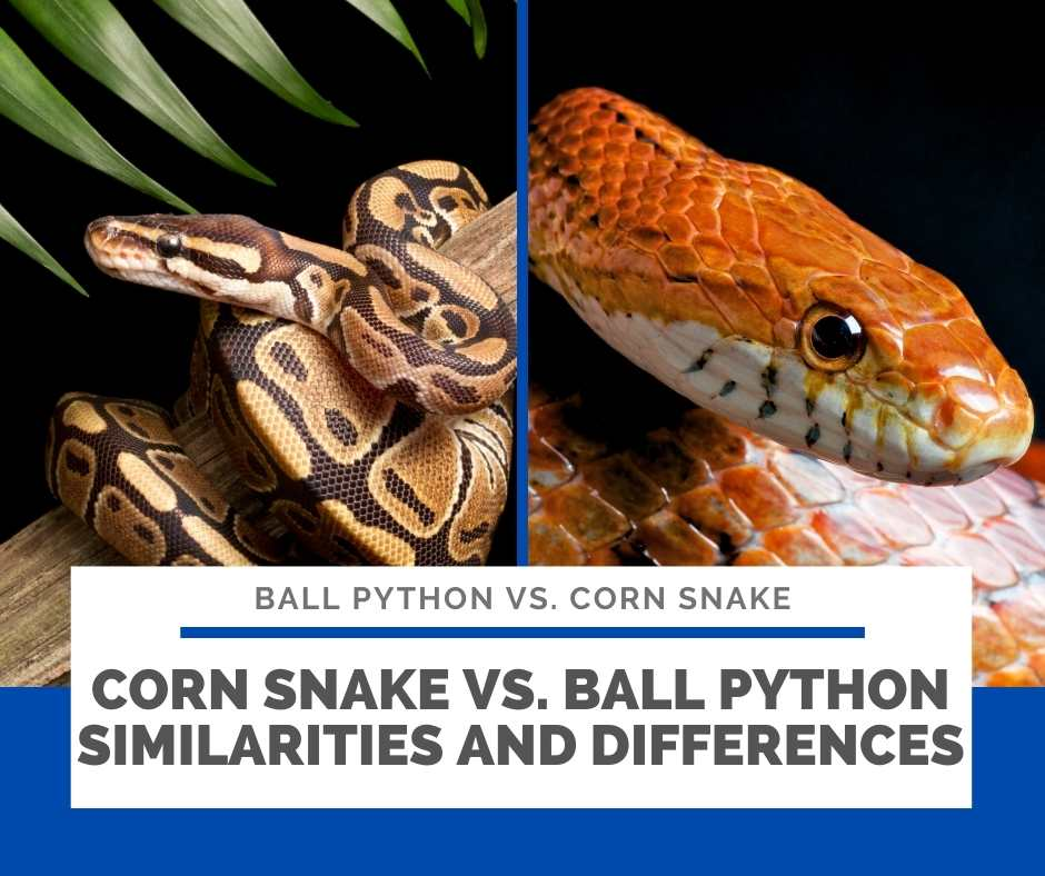 Corn Snake Vs. Ball Python Similarities And Differences