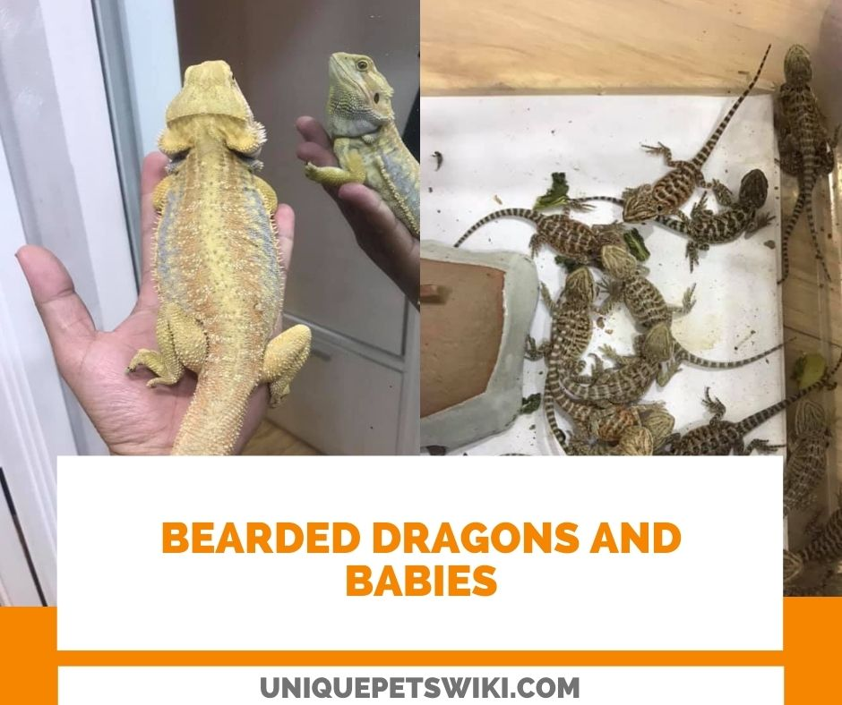 good preparing to successfully breed bearded dragons